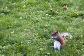 Squirrel on grass — Stock Photo