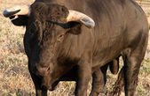 Fighting bull starting to charge — Stockfoto