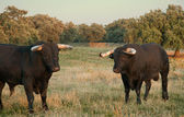 Fighting bulls farming site — Stockfoto