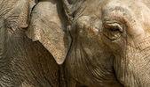 Elephant eye — Stock Photo