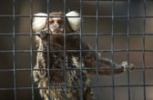 Common Marmoset — Stock Photo