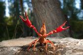 Red swamp crawfish — Stock Photo