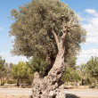 The olive tree — Stock Photo