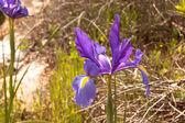 Iris blooming in spring — Stock Photo