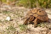 Черепаха на прогулке — Стоковое фото