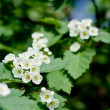 Hawthorn flowers blossoming — Stock Photo