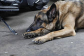 German Shepherd Dog lying on the ground — Stock Photo