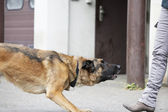 German Shepherd Dog Waiting — Foto Stock