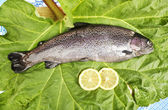 One fresh trout laid on a leaf — ストック写真