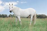Vita hästen söker — Stockfoto