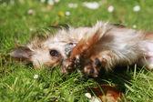 Långt hår chihuahua i trädgården — Stockfoto