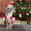 Christmas dog before christmas tree — Stock Photo #36786823