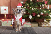 Christmas dog before christmas tree — Stock Photo
