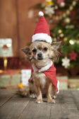 Christmas dog with stocking cap — Stock Photo