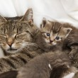 Stock Photo: Cats babies cuddle with mother