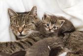 кошки младенцев обниматься с матерью — Стоковое фото
