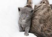 Annesi yanında kedi babie — Stok fotoğraf