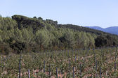 Wine growing in the south of france — Stock Photo