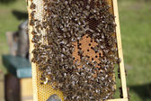 Bees with brood comb — Stock Photo