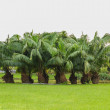 Group of palm trees. — Stock Photo #46060759