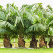 Group of palm trees. — Stock Photo #46060881