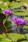 Purple lilies and lotus leaf in the pond. — ストック写真