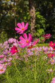 Beautiful flowers cosmos on softly blurred background — Foto Stock