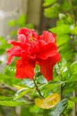 鮮やかな赤いハイビスカスの花と緑の葉の木 — ストック写真