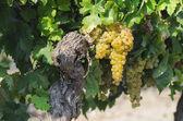 Beautiful vineyard with grapes — 图库照片