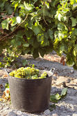 Basket full of grapes at harvest — Stock Photo