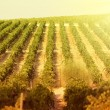 Sunset on vineyards — Stockfoto