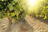 Bunch of grapes on vine at sunset — Stock Photo