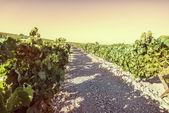 Vineyard at sunset — Stock Photo