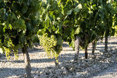 Vineyard with grapes in sunny day — Stock Photo