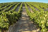 Rural landscape Vineyard — Stock Photo