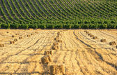 Landscape with vineyards and hay bales — Stock Photo