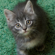 Gray kitten on a green background — Stock Photo