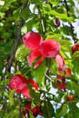 红色成熟李子树上 — 图库照片