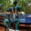 Teamwork at rubber plantation — Stock Photo