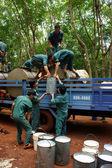Teamwork at rubber plantation — Stock Photo