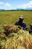 Farmer with success harvest — Stock Photo