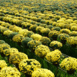 Stock Photo: Success springtime crop with daisy flower for Vietnam Tet