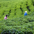 Worker pick tea leaves at tea plantation, Dalat, Viet Nam- July 31 — Stock Photo