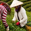 Vietnamese workerpick tea leaves (leafs) on tea farm — Stock Photo