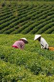 Workwoman pick tea leaves at tea plantation, Dalat, Viet Nam- July 31 — Stock Photo