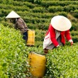 Workwoman pick tea leaves at tea plantation, Dalat, Viet Nam- July 31 — Stock Photo