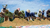 Farmers harvest peanut at farmland — Stock Photo