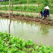Stock Photo: Farmer working on greens vegetables farm b