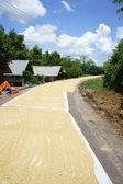 Sun-dry paddy — Stock Photo