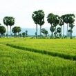 The path on green paddy field and palm trees — Stock Photo